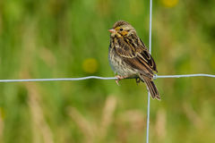 Savannah Sparrow. Juvenile Savannah Sparrow perched on a page wire fence Royalty Free Stock Image