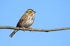 Savannah Sparrow (Passerculus sandwichensis). On a bush Royalty Free Stock Images