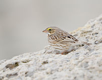 Savannah Sparrow (Passerculus sandwichensis) Stock Photography