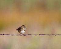 Savannah Sparrow, Passerculus sandwichensis. Savannah Sparrow on a barbed-wire fence in southern Colorado Royalty Free Stock Photos