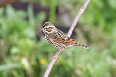 Savannah Sparrow (Passerculus sandwichensis) Stock Photo