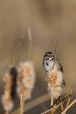 Savannah Sparrow Passerculus sandwichensis Arkivbilder