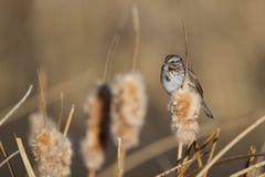 Savannah Sparrow Passerculus sandwichensis Royaltyfri Foto