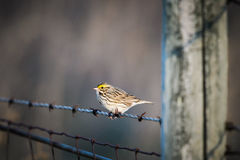 Savannah Sparrow (Passerculus sandwichensis). Savannah Sparrow perched on a barbed-wire fence, Alberta Canada Royalty Free Stock Photo