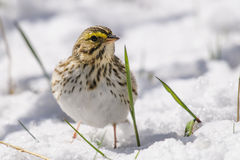 Savannah Sparrow (Passerculus sandwichensis) Stock Photos