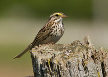 Savannah Sparrow perched. Closeup of a small migratory songbird also known as Passerculus Sandwichensis perching on old tree stump in Ontario Royalty Free Stock Photo