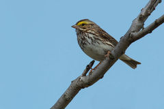 Savannah Sparrow. Perched on a branch Royalty Free Stock Image