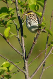 Savannah Sparrow. Perched on a branch Stock Photography