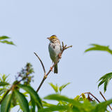 Savannah Sparrow. Perched on a branch with a watchful eye Stock Photo