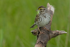 Savannah Sparrow. Perched on a dead branch Stock Images