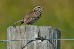 Savannah Sparrow. Perched on a fence post Royalty Free Stock Photography