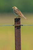 Savannah Sparrow. Perched on a fence post Royalty Free Stock Photos
