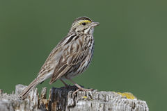 Savannah Sparrow perched on a fence post - Ontario, Canada. Savannah Sparrow (Passerculus sandwichensis) perched on a fence post - Ontario, Canada Royalty Free Stock Images