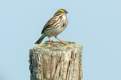 Savannah Sparrow. Perched on an old fence post Stock Photo