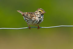 Savannah Sparrow. Perched on a page wire fence Royalty Free Stock Image
