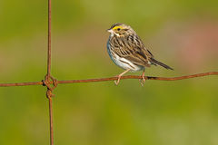 Savannah Sparrow. Perched on a page wire fence Stock Image