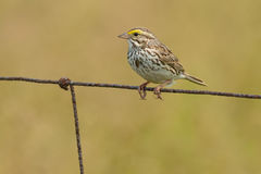 Savannah Sparrow. Perched on a page wire fence Royalty Free Stock Photography