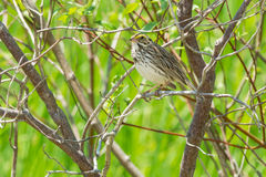 Savannah Sparrow. Perched in a tree Stock Images