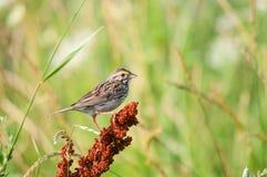 Savannah Sparrow Royalty Free Stock Photo