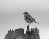 Savannah Sparrow at rest. A Savannah Sparrow at rest on top of a wooden post with a watchful eye Stock Photo