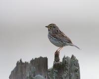 Savannah Sparrow a riposo fotografia stock
