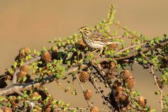 Savannah Sparrow. Perched in a Larch tree. Ashbridges Bay Park, Toronto, Ontario, Canada Royalty Free Stock Photography