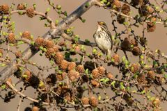 Savannah Sparrow. Singing in a Larch tree. Ashbridges Bay Park, Toronto, Ontario, Canada Stock Images
