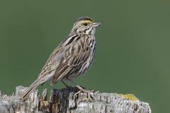 Savannah Sparrow si è appollaiata su un recinto Ontario post-, Canada immagini stock libere da diritti