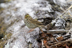 Savannah sparrow singing Royalty Free Stock Photos