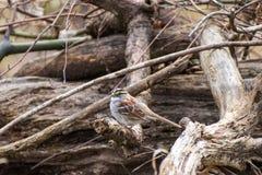 Savannah sparrow sitting on wood pile stock images