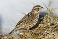 Savannah Sparrow in the snow. Close-up of a Savannah Sparrow in the snow, taken n Manassas National Battlefield Park, Virginia Royalty Free Stock Image