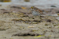 Savannah Sparrow. Standing in the mud Royalty Free Stock Photography