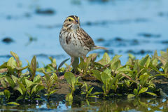 Savannah Sparrow. Standing in the mud at the edge of a shallow marsh Royalty Free Stock Image