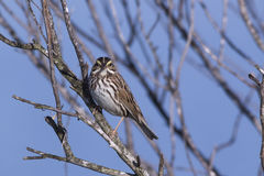 Savannah Sparrow. At the Viera wetlands royalty free stock photos