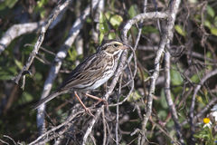 Savannah Sparrow. At the Viera wetlands stock photography