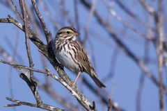 Savannah Sparrow. At the Viera wetlands Stock Image