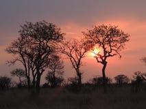 Savannah sunset. Orange sunset South Africa savannah Stock Photos