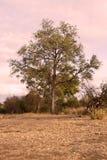 Savannah Tree Stock Images