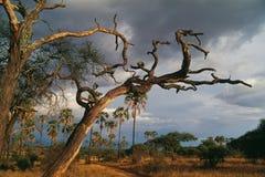 Savannah. Tree,branch field palm sky clouds africa tanzania bush Stock Images
