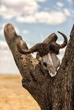 Savannah Tree Skull Animal Royaltyfri Bild