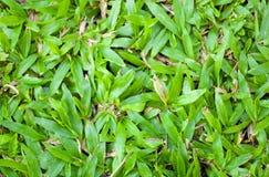 Savannah Tropical Carpet Grass Field verte Image libre de droits