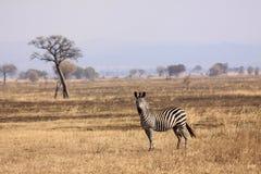 Savannah Zebra Royalty Free Stock Photo