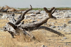 Savannahen i den Etosha nationalparken i Namibia Arkivfoto