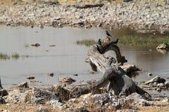 Savannahen i den Etosha nationalparken i Namibia Royaltyfria Bilder