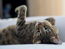 Savannahkatt som lägger på säng fotografering för bildbyråer