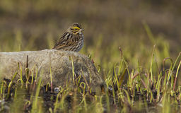 savannahsparrow Arkivfoto