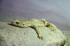 Savannbildskärm Arkivfoto