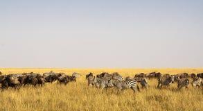 Savanne herbivores Grote migratie Op tijd Stock Foto