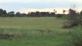 Savanne Kenia van Afrika van het leeuw de wilde gevaarlijke zoogdier stock footage