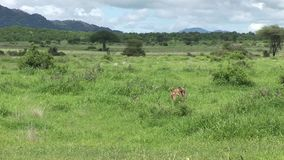 Savanne Kenia van Afrika van het leeuw de wilde gevaarlijke zoogdier stock video